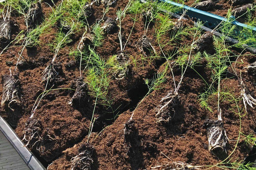 Närbild av sparrisplantor med bara, jordiga rotklumpar liggande på jordfyllda tråg.