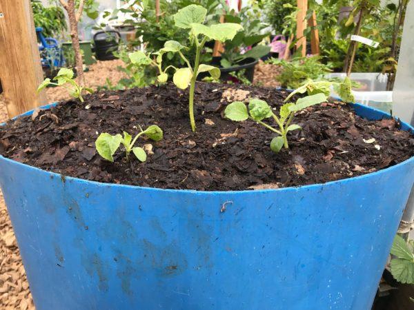 En blå tunna är fylld med mörk mylla och små melonplantor.