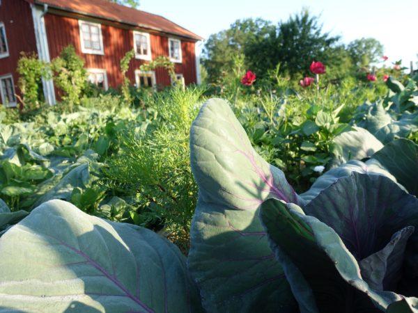 Kålblad i närbild framför det röda huset i Skillnadens Trädgård.