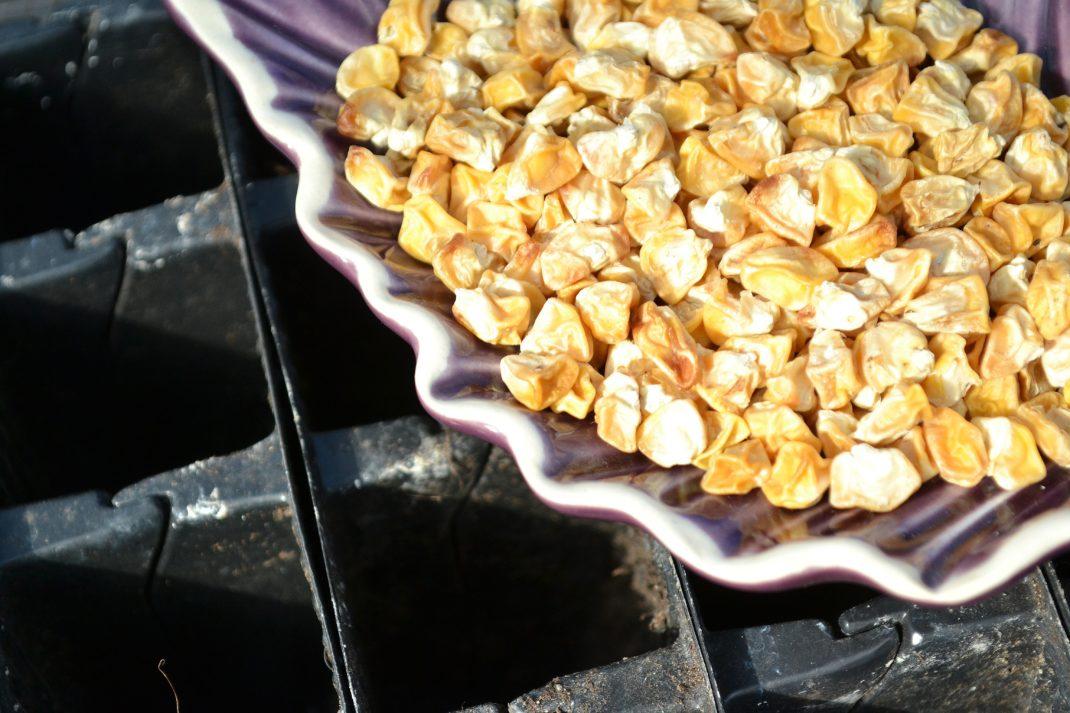 Odla majs: En bytta med torkad majs står över ett pluggbrätte.