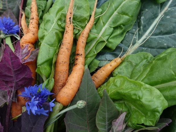 Bladgrönsaker, morötter och blåklint i ett härligt skördestilleben.