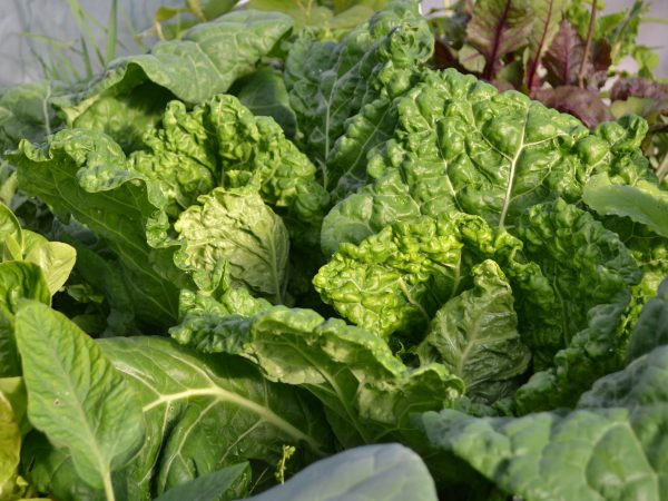 Frodig savoykål i klargröna växer tätt tillsammans i en odlingsbädd.