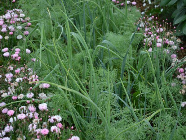 I en bädd växer rosa sommarblommor runt lökblast och vippiga gröna plymer.