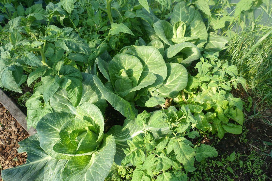 Bild på planteringen av kål i tunnelväxthuset, med stora frodiga gröna plantor.