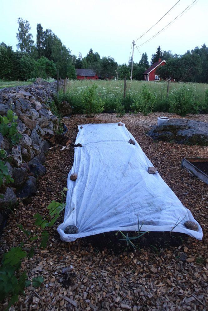 Köksträdgården i skymning, en vit duk täcker en lång bädd längs en stenmur.