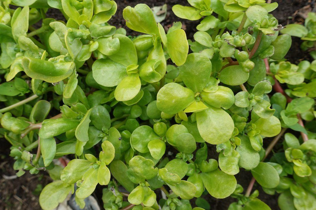 En vacker knubbig grön planta med blanka blad.