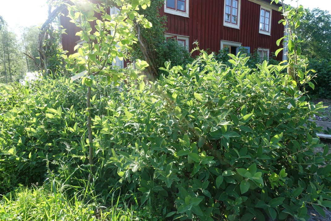 Bild på gröna buskar i midjehöjd med huset som bakgrund. Growing honeyberries, green bushes and the house in the background.