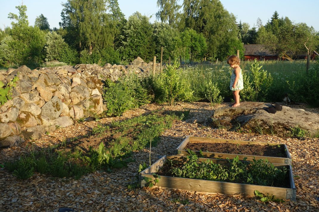 Köksträdgården i kvällssol med en ogräsdrabbad bädd längs stenmuren.