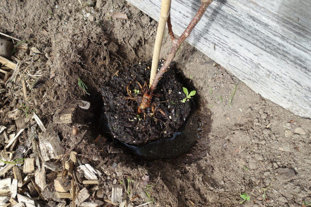 En närbild på hur plantan satts ner i en grop i marken.