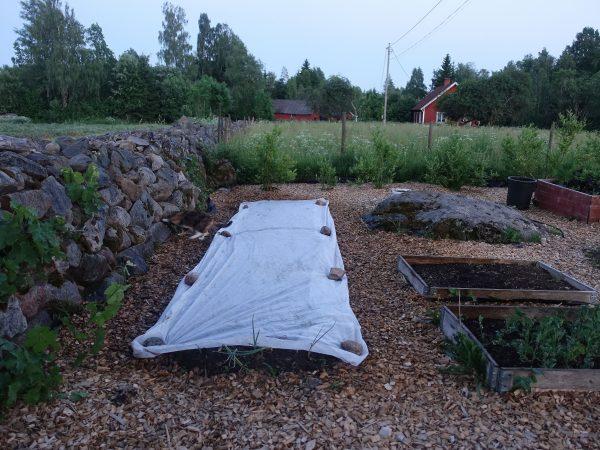 Köksträdgården i skymning. En vit duk täcker en bädd längs en stenmur.