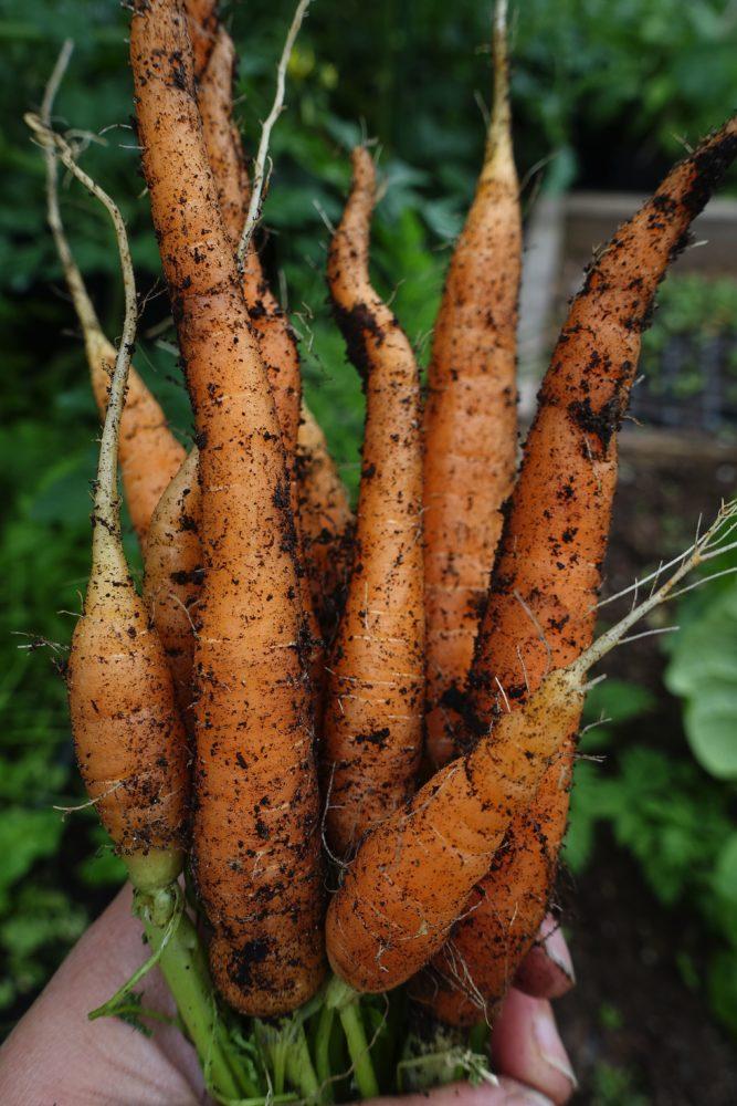 En hand håller ett fint knippe med morötter.