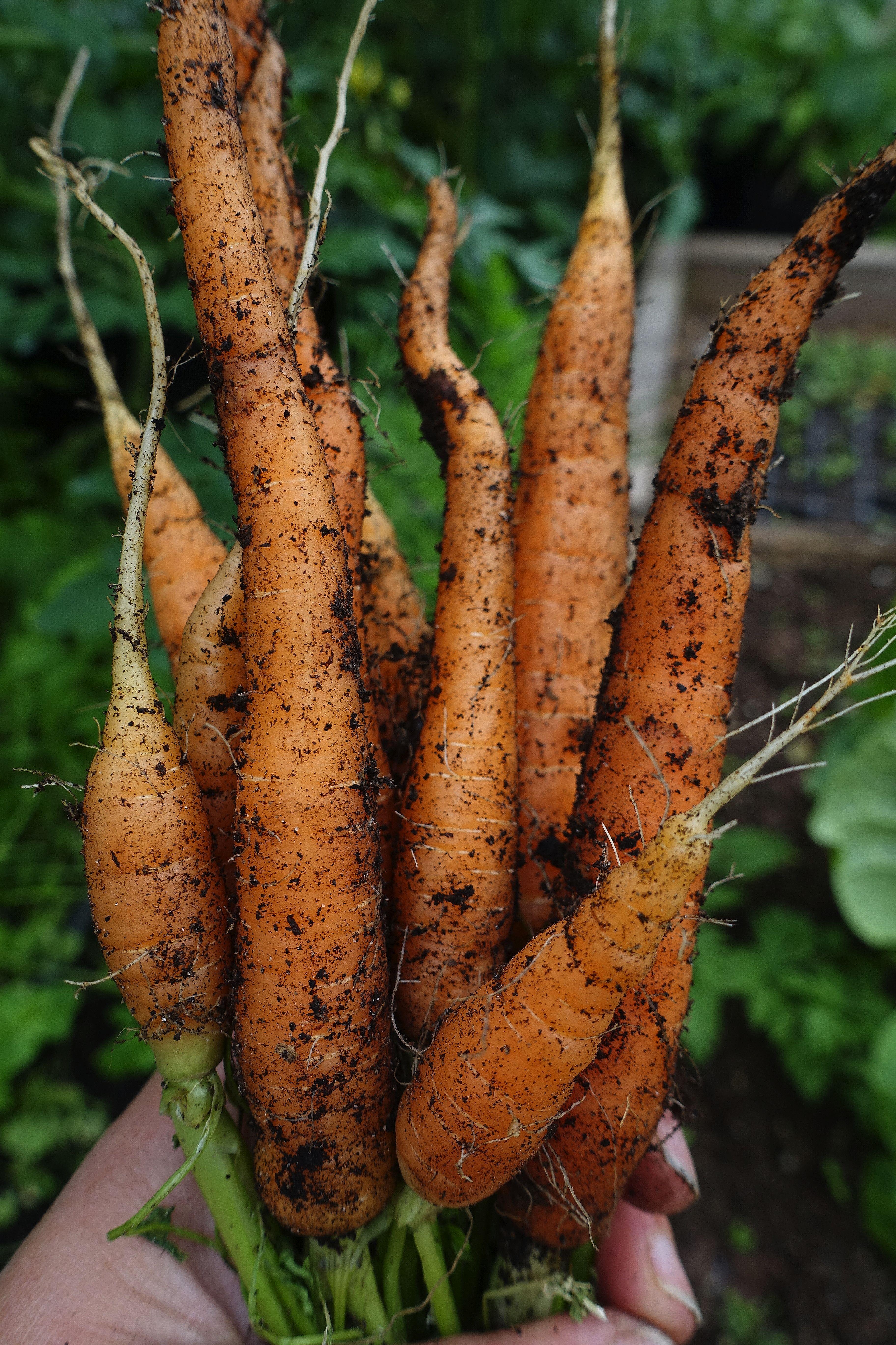 En hand håller ett fint knippe med morötter. Harvesting carrots: A hand holding a bunch of carrots.