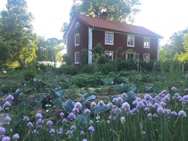 En köksträdgård med blommande gräslök i förgrunden.