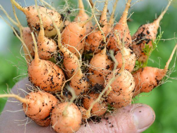 En hand håller ett helt knippe med står, runda, orangea morötter.