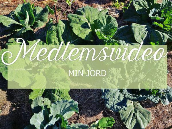 Bild av kålplantor i en täckodlad bädd, med texten Medelemsvideo Min jord