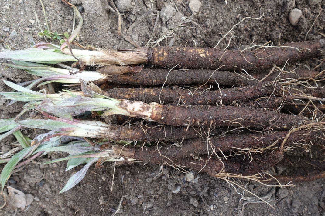 Ett knippe nyskördade svartrötter, långa smala svarta rötter.