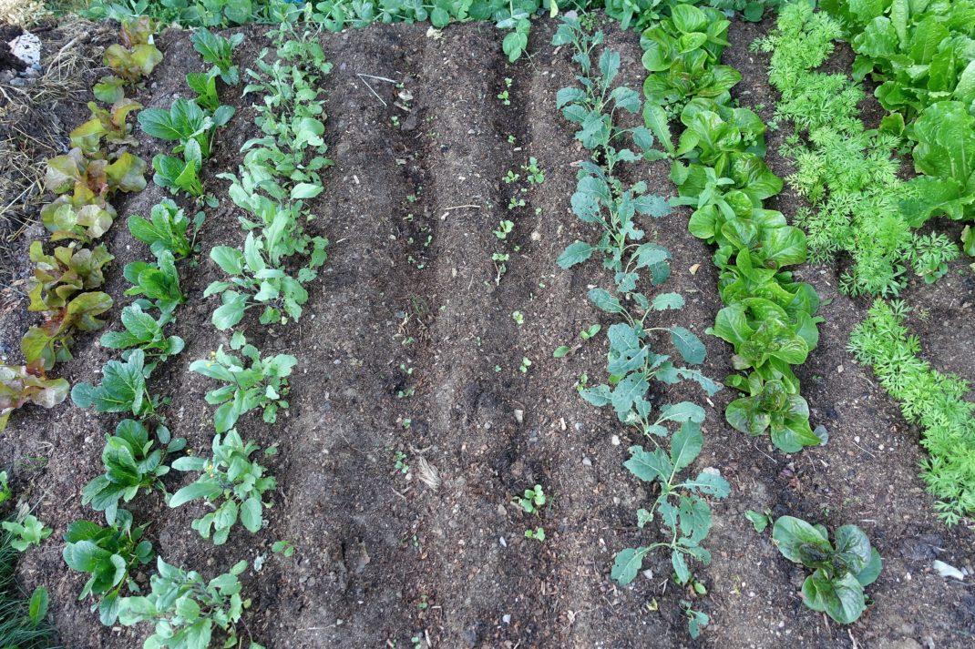 Bild på bladgrönsaker, små, i täta rader i svart jord.
