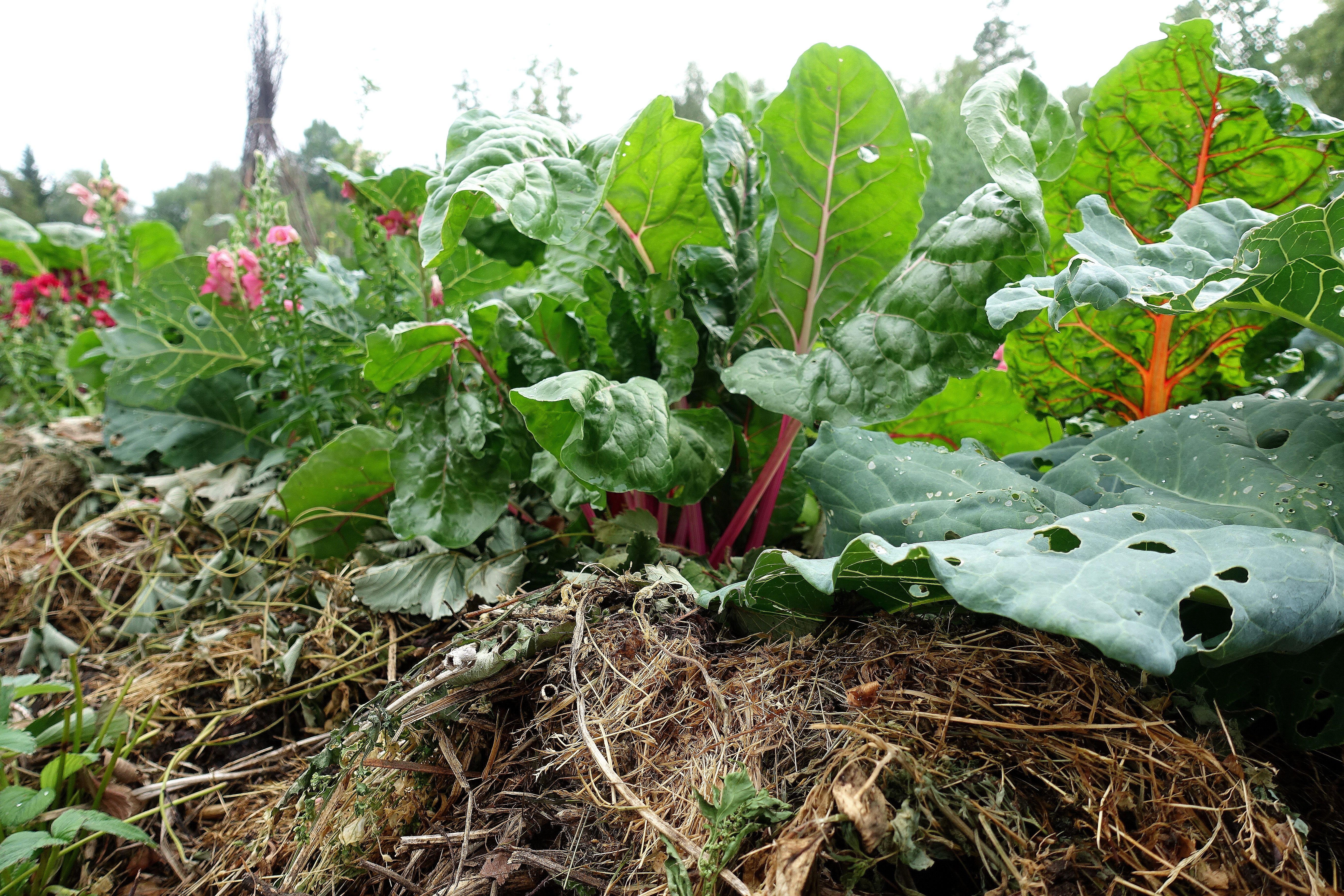 En täckodlad bädd med mängder av trädgårdsskräp och mangold som växer där i. Mulching works, a mulched bed with mangold.