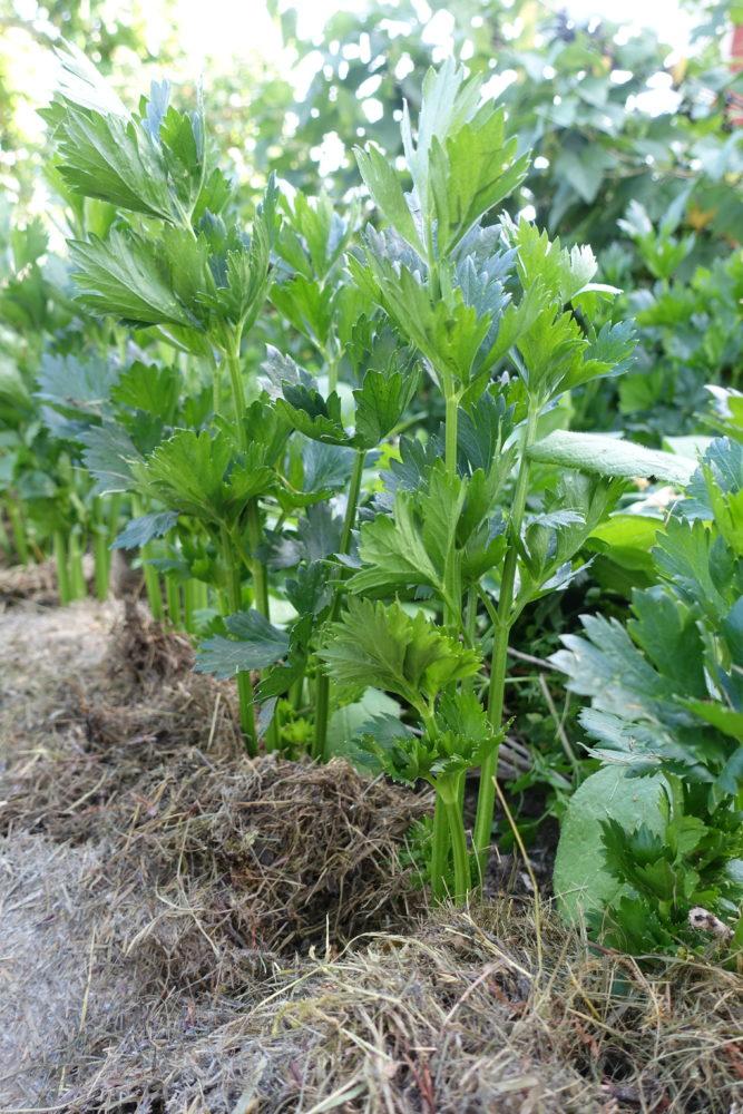 Plantor av rotselleri med hög blast står i en täckodling av gräsklipp.