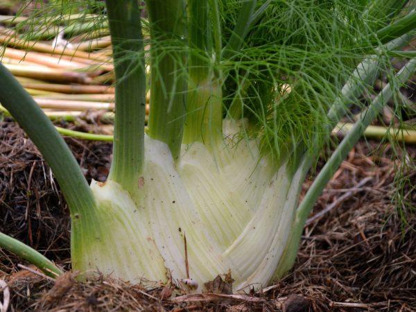 En ståtlig fänkål som odlas i täckmaterial av gräsklipp.