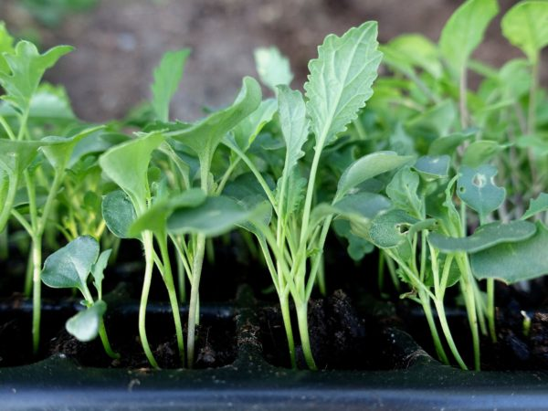 Närbild på gröna kålplantor i pluggbrätte.