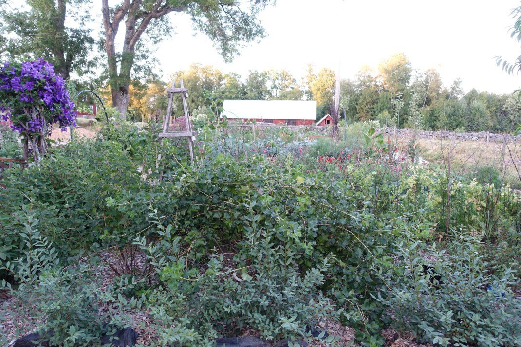 En bild på gröna buskar i trädgården.