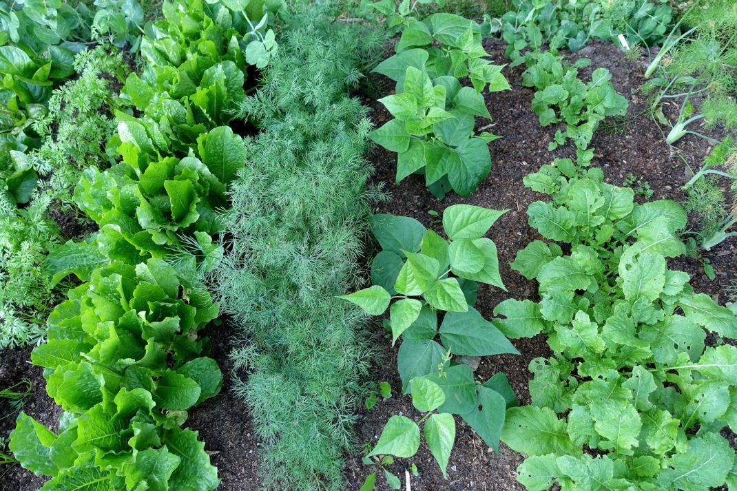En bild på en odlingsplats med täta rader med bladverk i olika former.