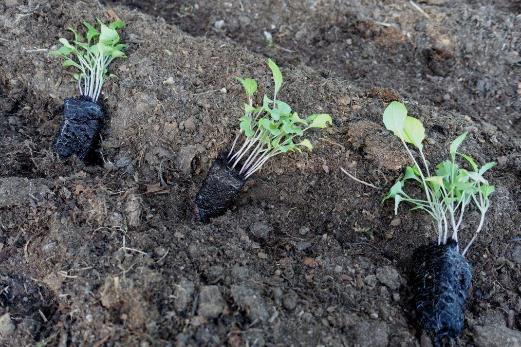 Närbild på plantor som ligger på jorden, redo att planteras.