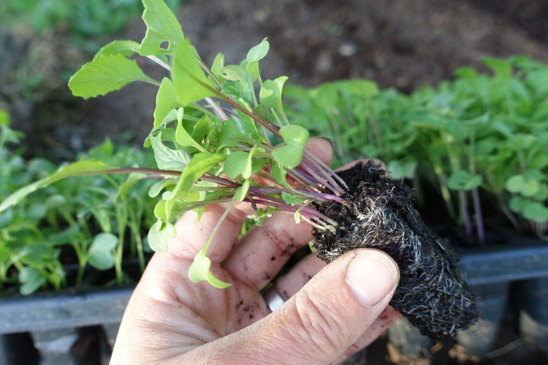En hand håller en liten planta med perfekt rotsystem.
