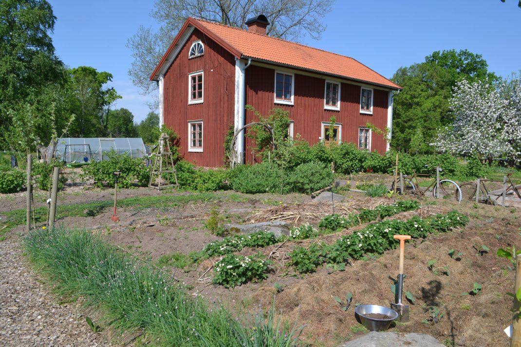 En köksträdgård med låg växtlighet, full sol och stort rött bostadshus i bakgrunden.
