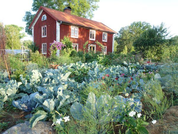 Bild på en frodig köksträdgård med mycket kål och sommarblommor.