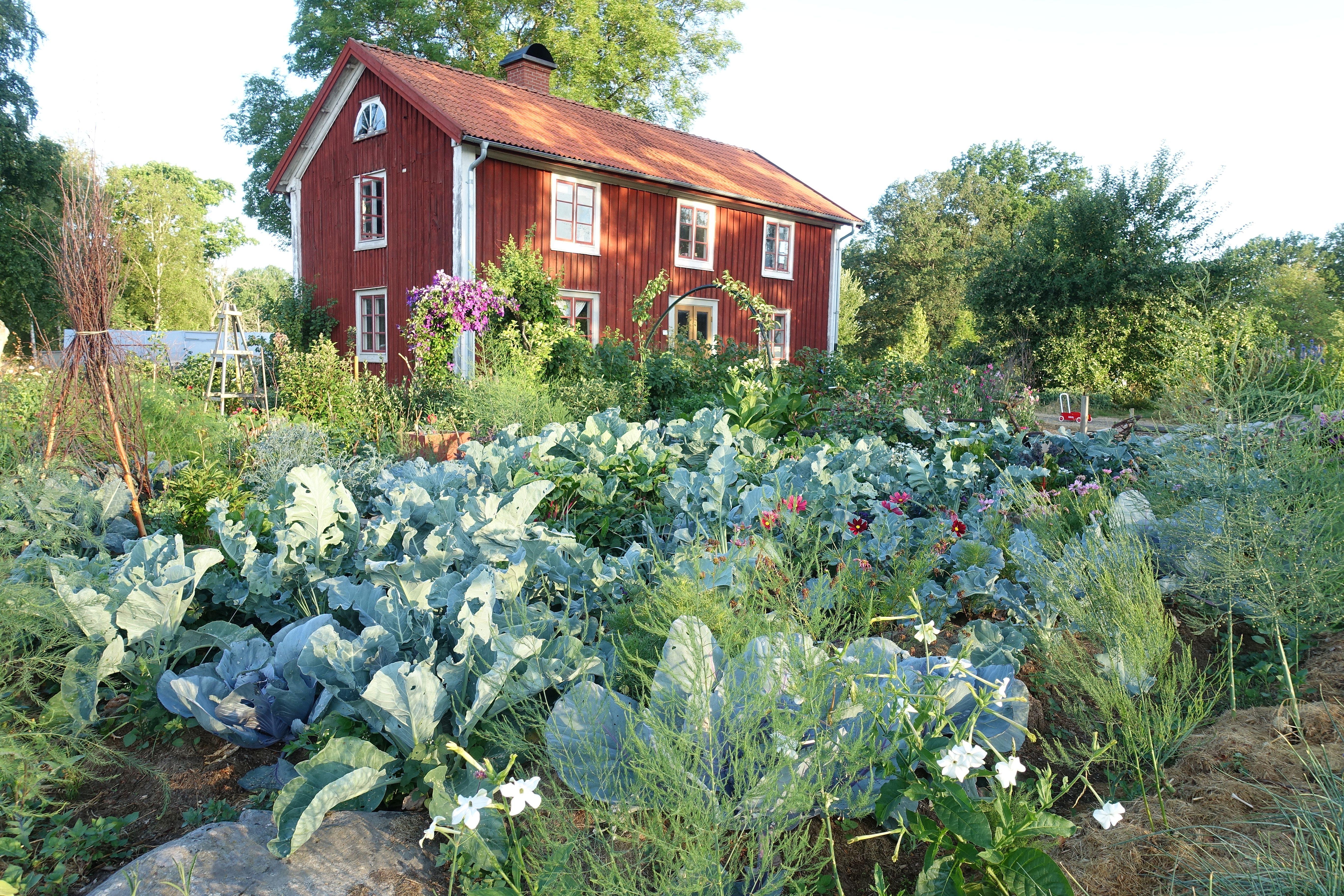 Bild på en frodig köksträdgård med mycket kål och sommarblommor. Mulching works, cabbage and flowers in my kitchen garden.