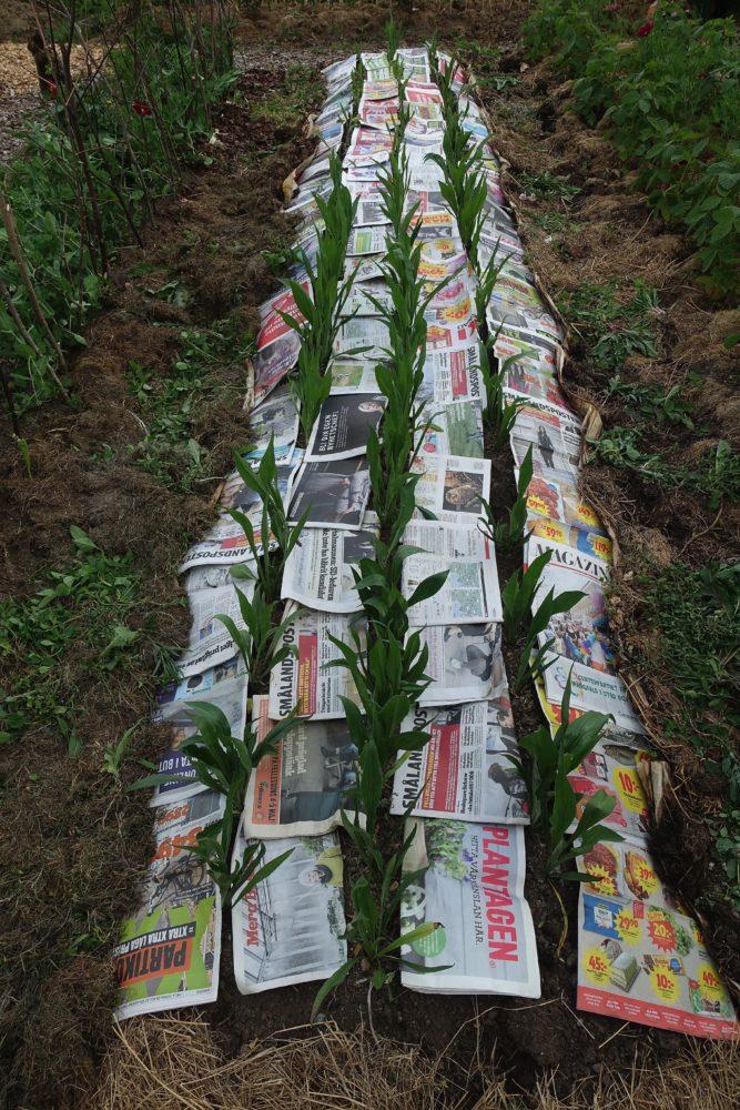 Rader med svartrötter och tidningspapper som ligger på jorden mellan plantorna.
