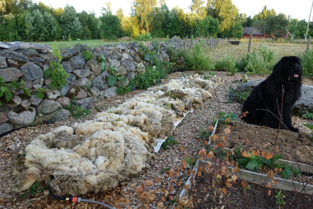 En odlingsbädd täckt med ett tjockt lager fårull. En jättestor svart hund sitter bredvid och tittar.