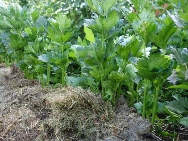 En bild på frodig rotselleri i täckodling med gräsklipp.