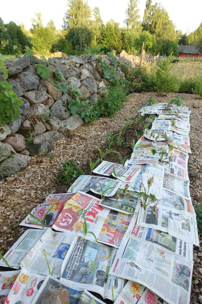 En lång odlingsbädd täckt med tidningar.