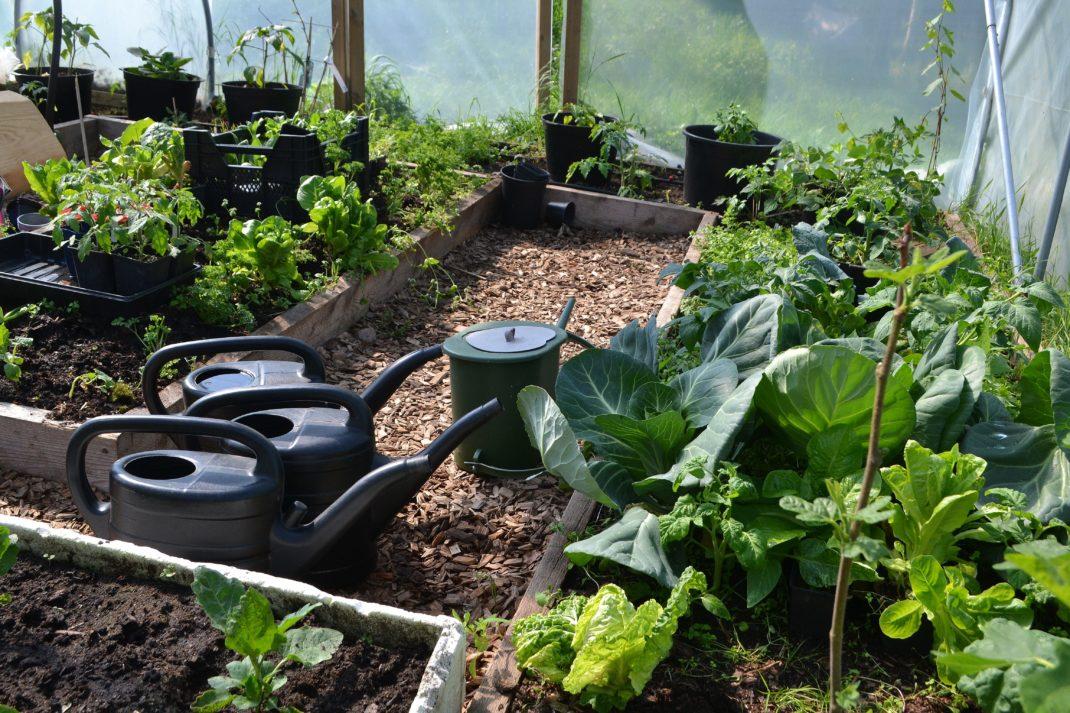 Låg grön växtlighet i bäddar i tunnelväxthus.