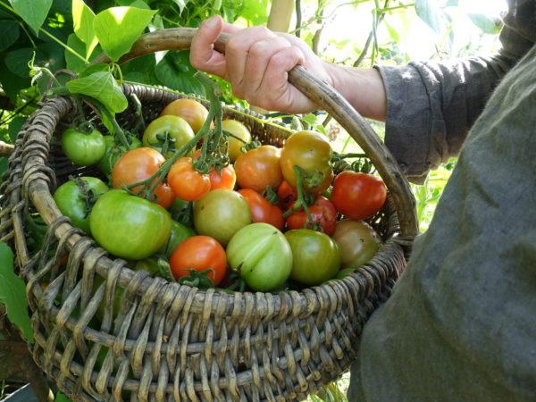 Saras hand håller en korg med glänsande tomater i grönt, oranget och rött.