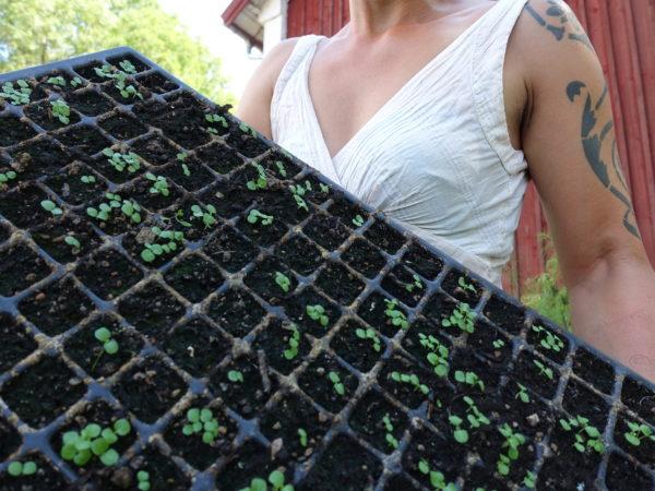 Sara håller ett pluggbrätte från Wexthuset med små plantor.