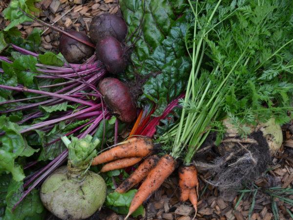 Jordiga grönsaker ligger nyskördade i landet. Rödbeta, morot, mangold med mera.
