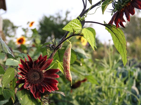 Vackra röda sommarrudbeckior växer ikapp med rosaspräckliga bönskidor.