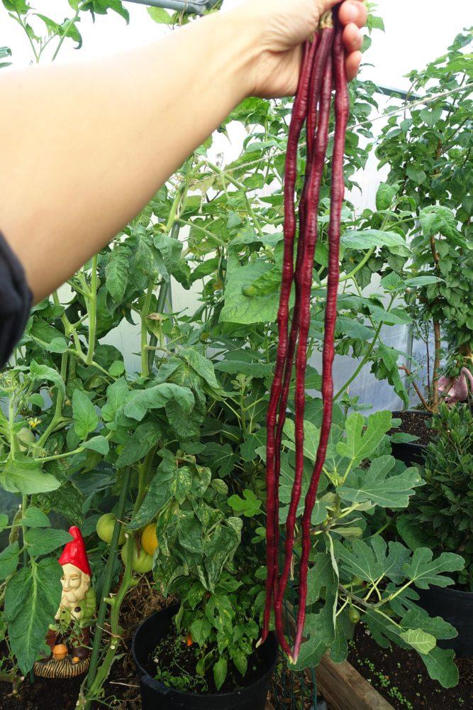 En hand håller upp ett knippe jättelånga röda bönor. Yard-long bean, a handful of beans.