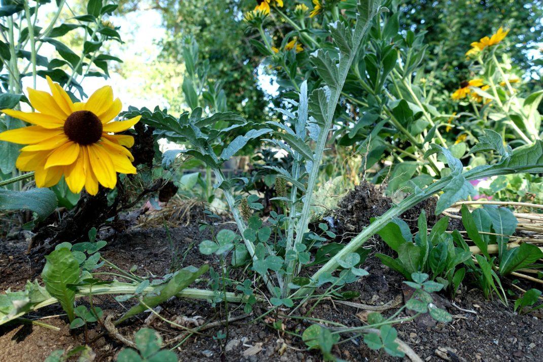En liten medtagen kronärtskocka bredvid en gul solrosliknande blomma