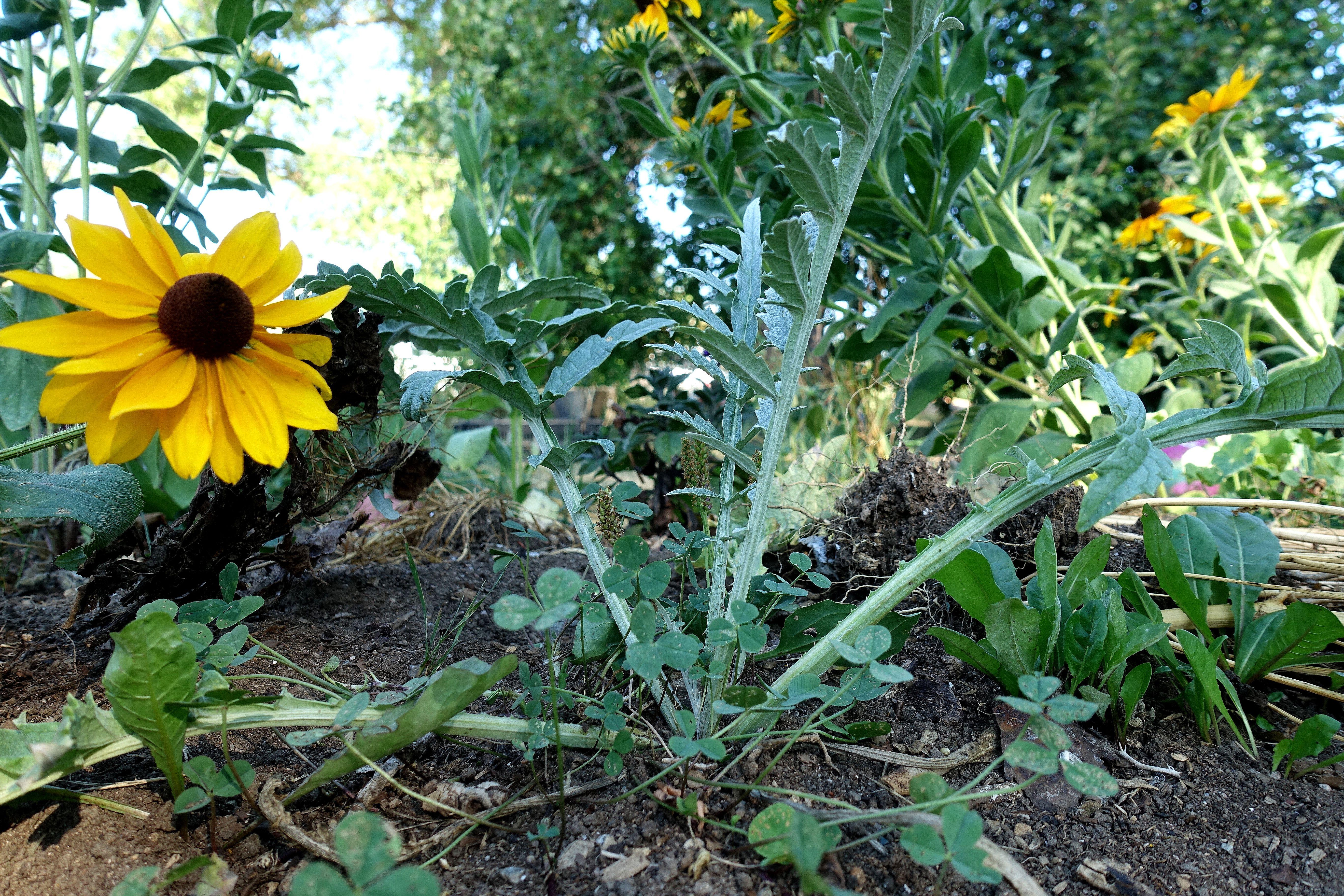 En liten medtagen kronärtskocka bredvid en gul solrosliknande blomma. Overwintering artichokes, a struggling artichoke next to a yellow flower.