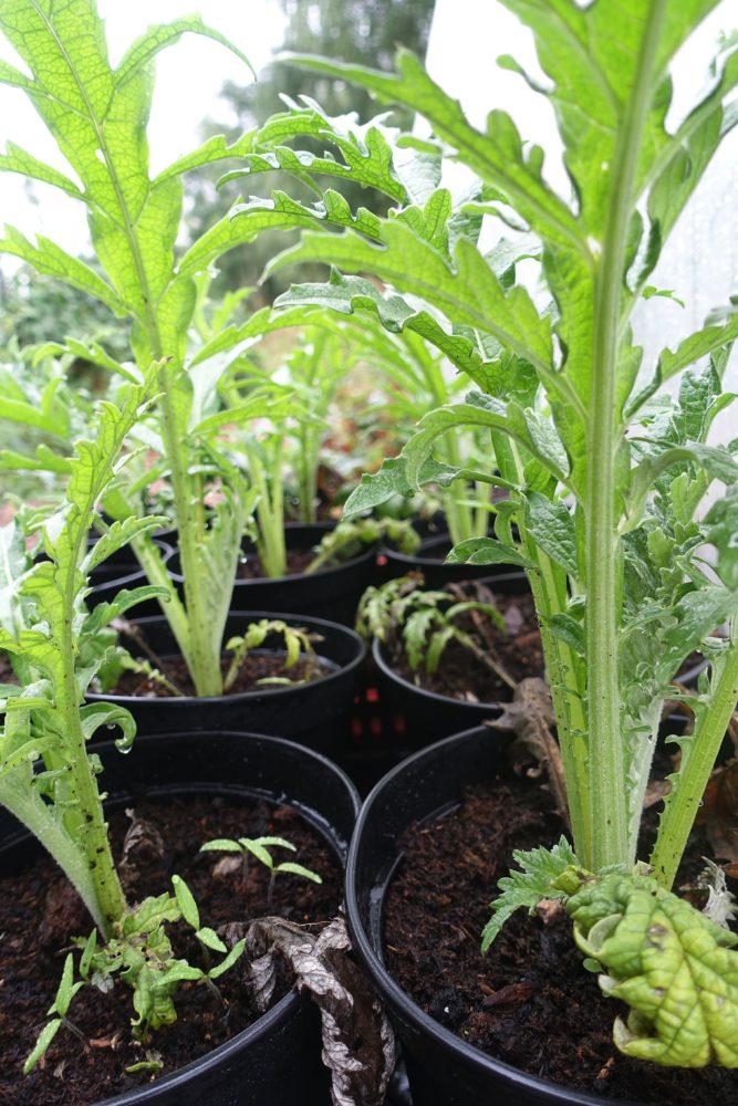 Välmående gröna plantor med lite matta blad ståendes bredvid varandra i krukor.