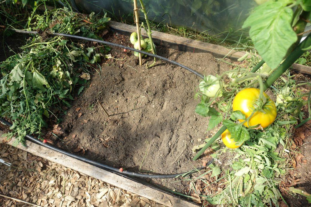 En odlingsram med fyra tomatplantor, en bevattningsslinga och täckodlade små vallar i kanterna.