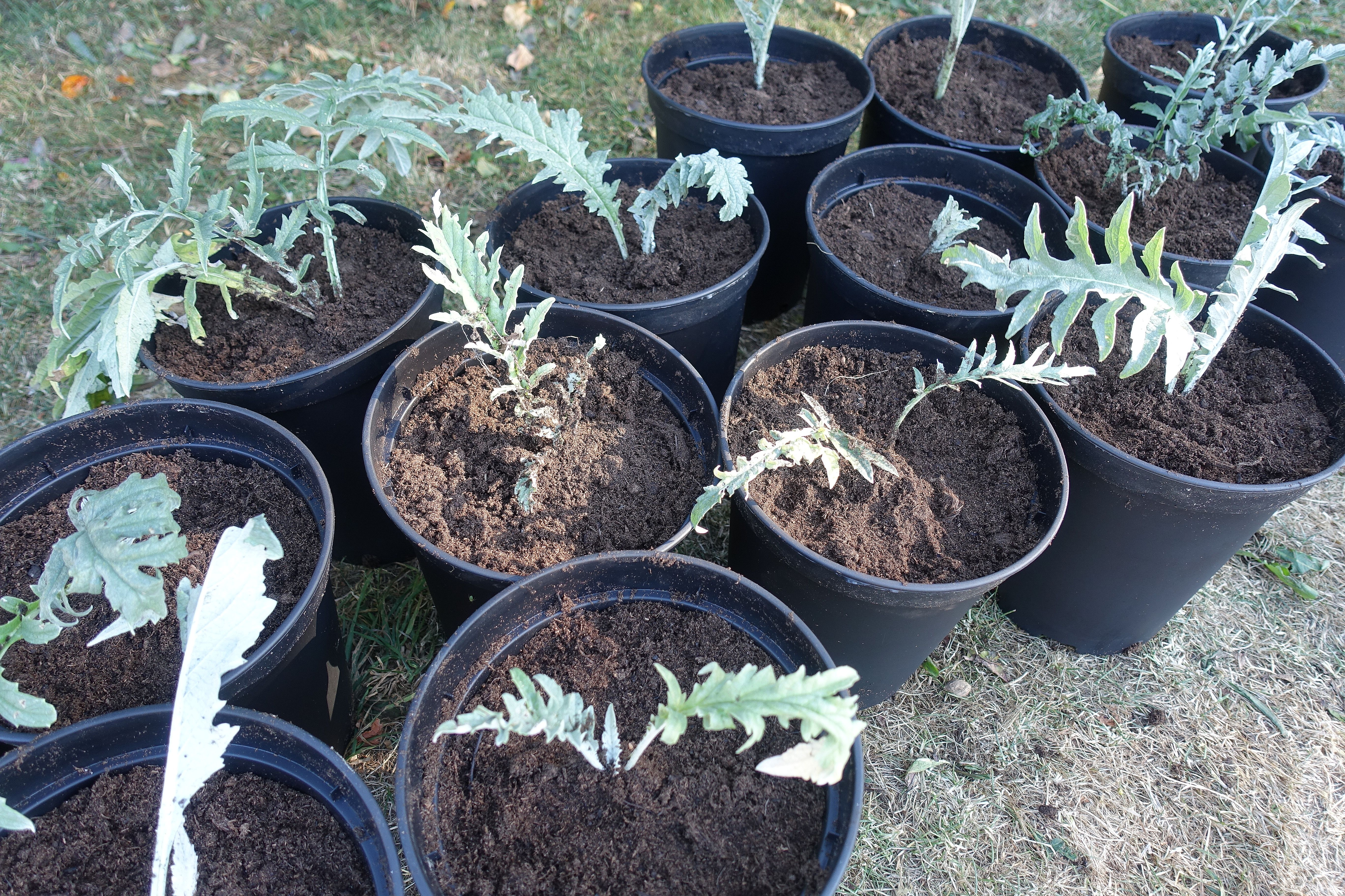 Många plantor av kronärtskocka står i svarta krukor bredvid varandra. Overwintering artichokes, several plant in black pots.