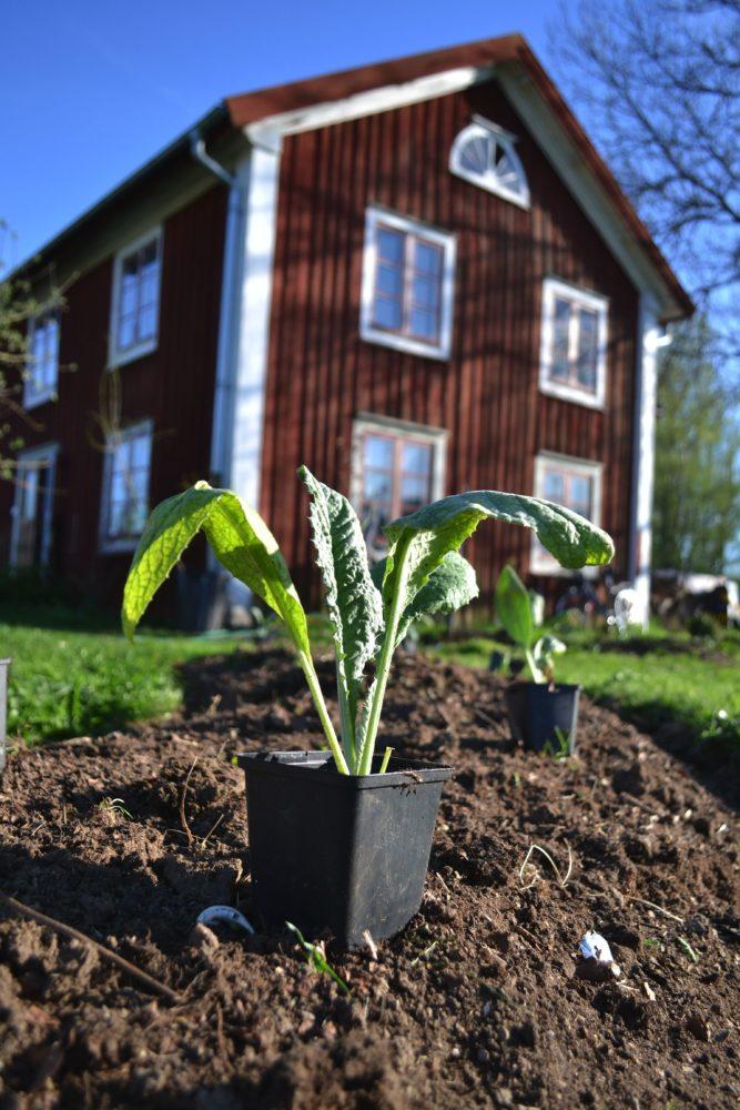 En bild på en planta i svart kruka, ståendes på jorden med ett stort rött trähus i bakgrunden.