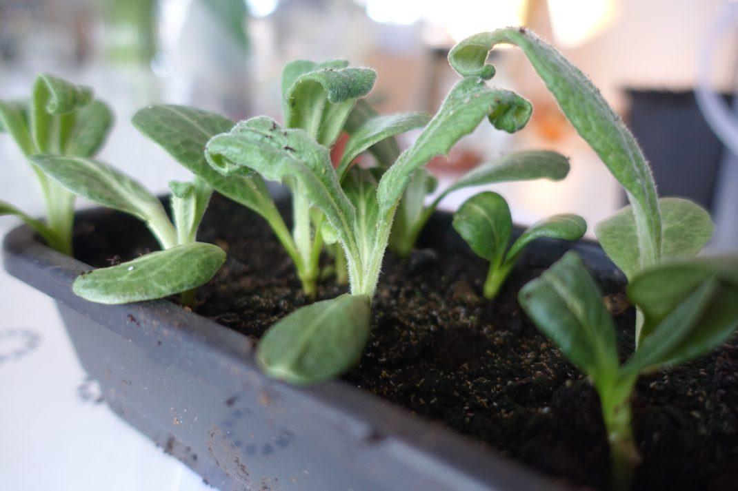 Ett svart litet plasttråg med små gröna bulliga plantor i.