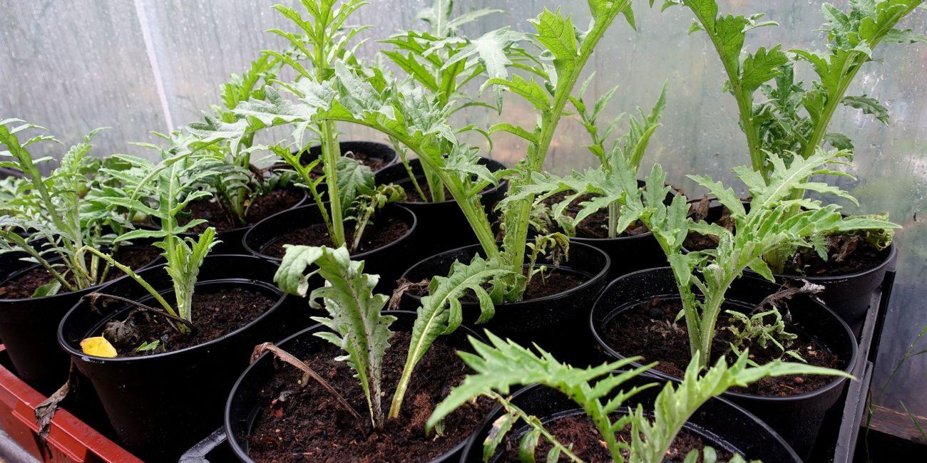 Små plantor av friska kronärtskockor med taggiga blad står i krukor bredvid varandra.